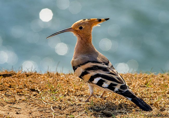 common_hoopoe_09.03.13_a.das