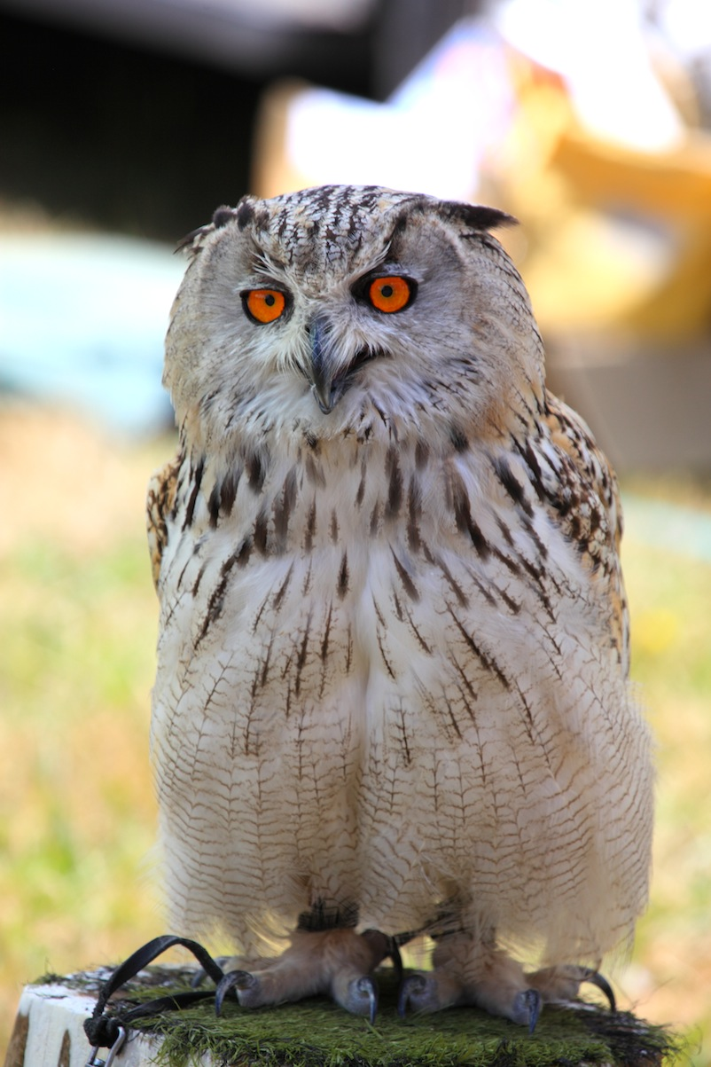 African Eagle Owl by Chris Bushe