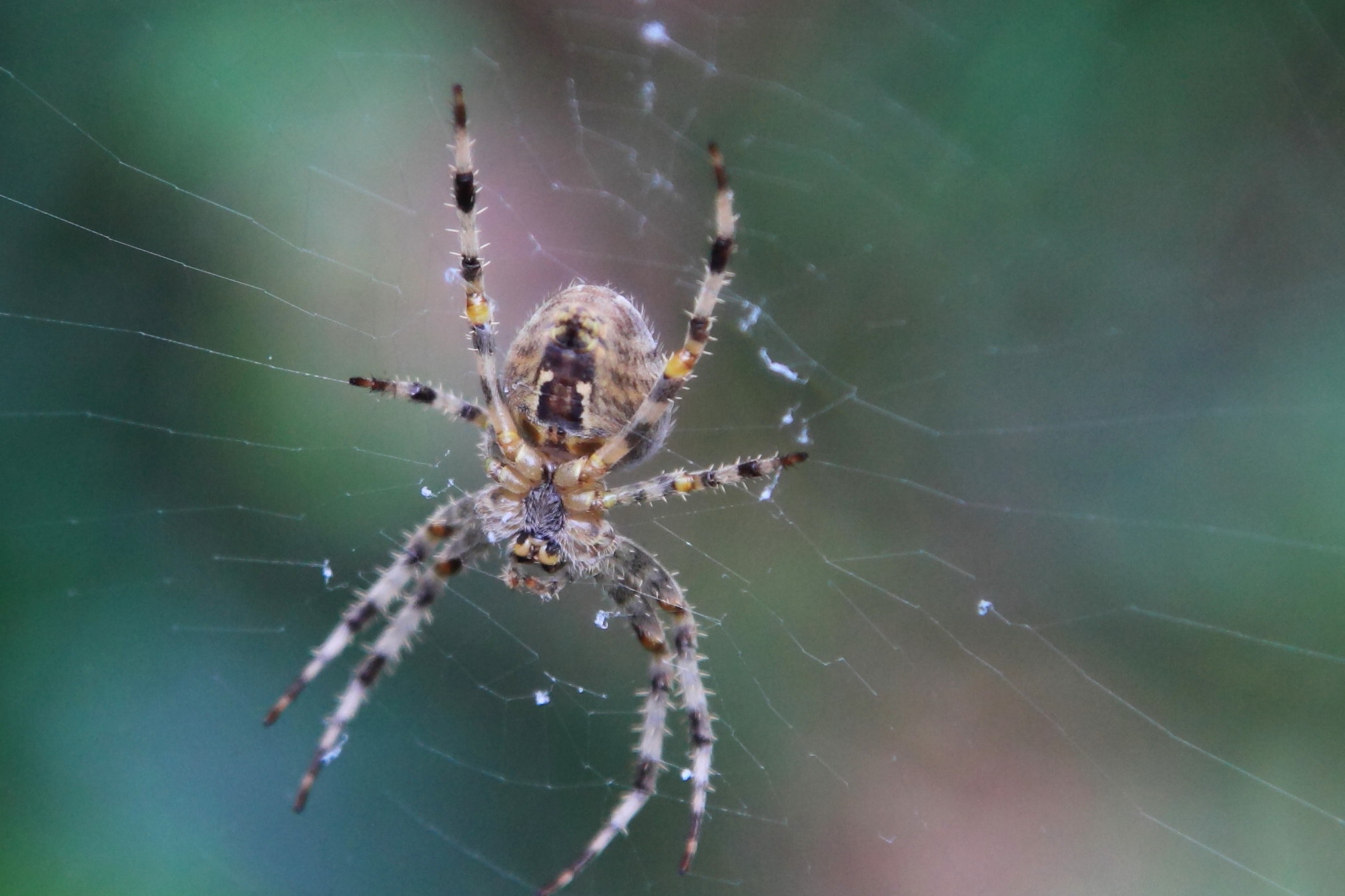 Garden Spider by chris Bushe