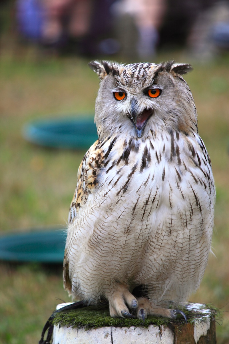 Eagle owl again