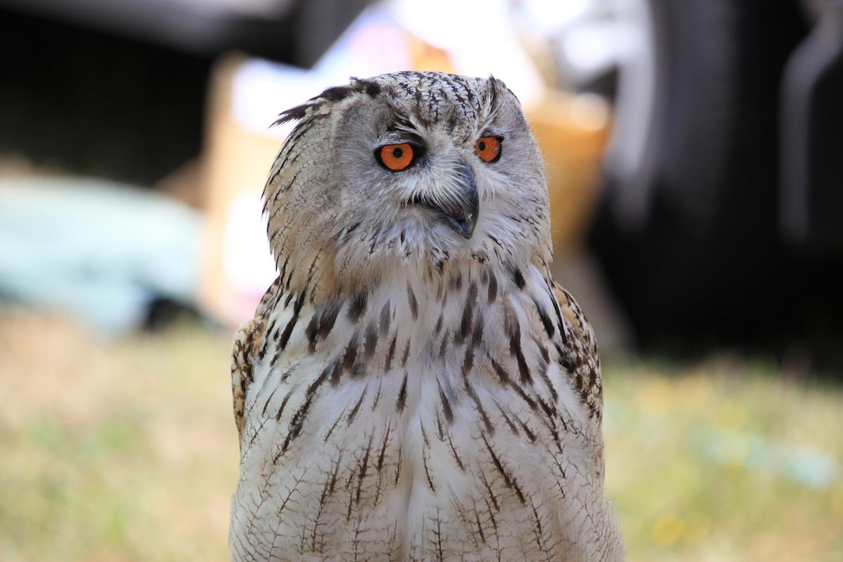 Eagle Owl3