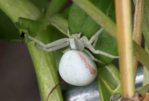 Crab Spider in the garden one summer day. What was it doing thereCopyright Chris Bushe
