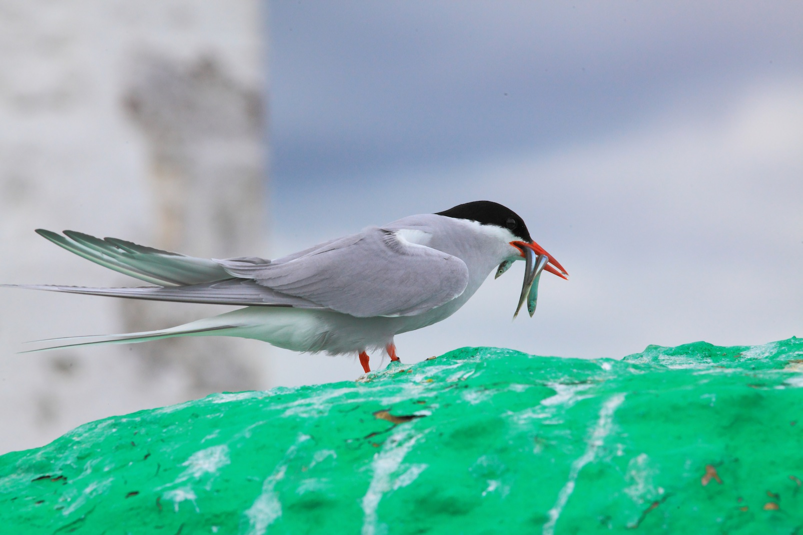 Arctic Tern on Farne Islands.Crab Spider in the garden one summer day. What was it doing thereCopyright Chris Bushe