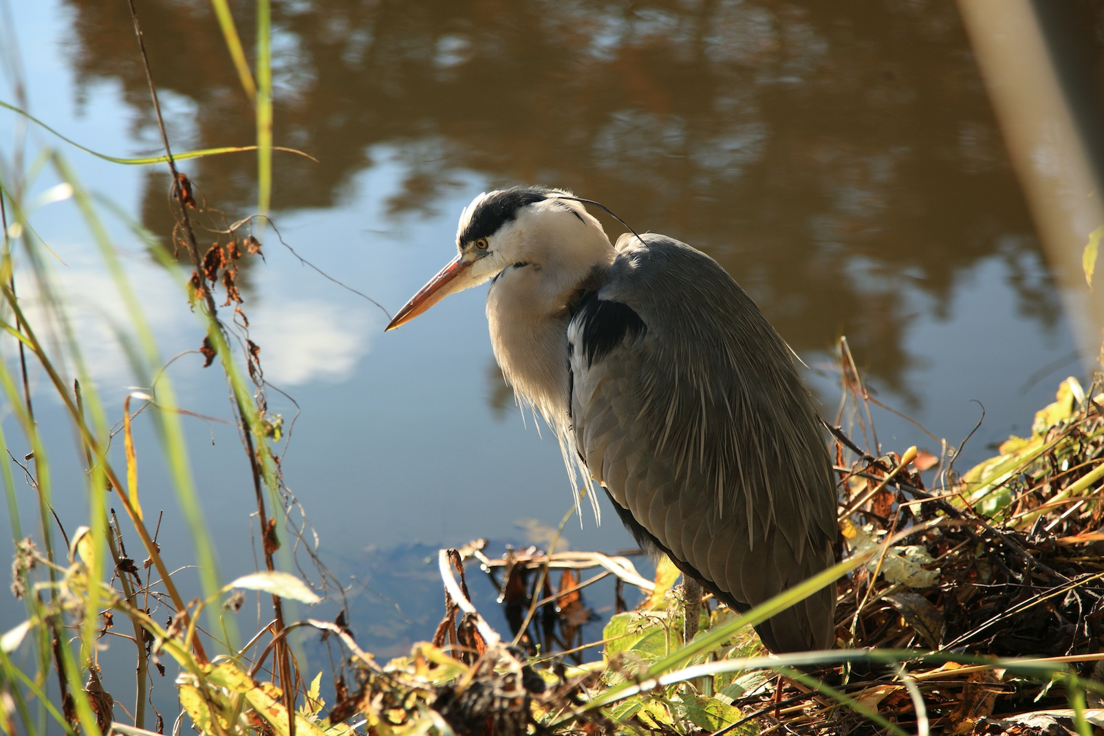 Heron in Vondels park amsterdam. An old heron i guess.Copyright Chris Bushe