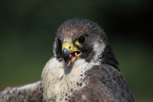Peregrine Falcon eating a chick.Copyright chris Bushe