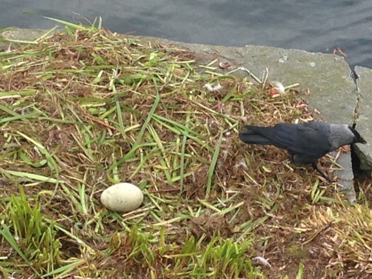 Swan egg by the lake