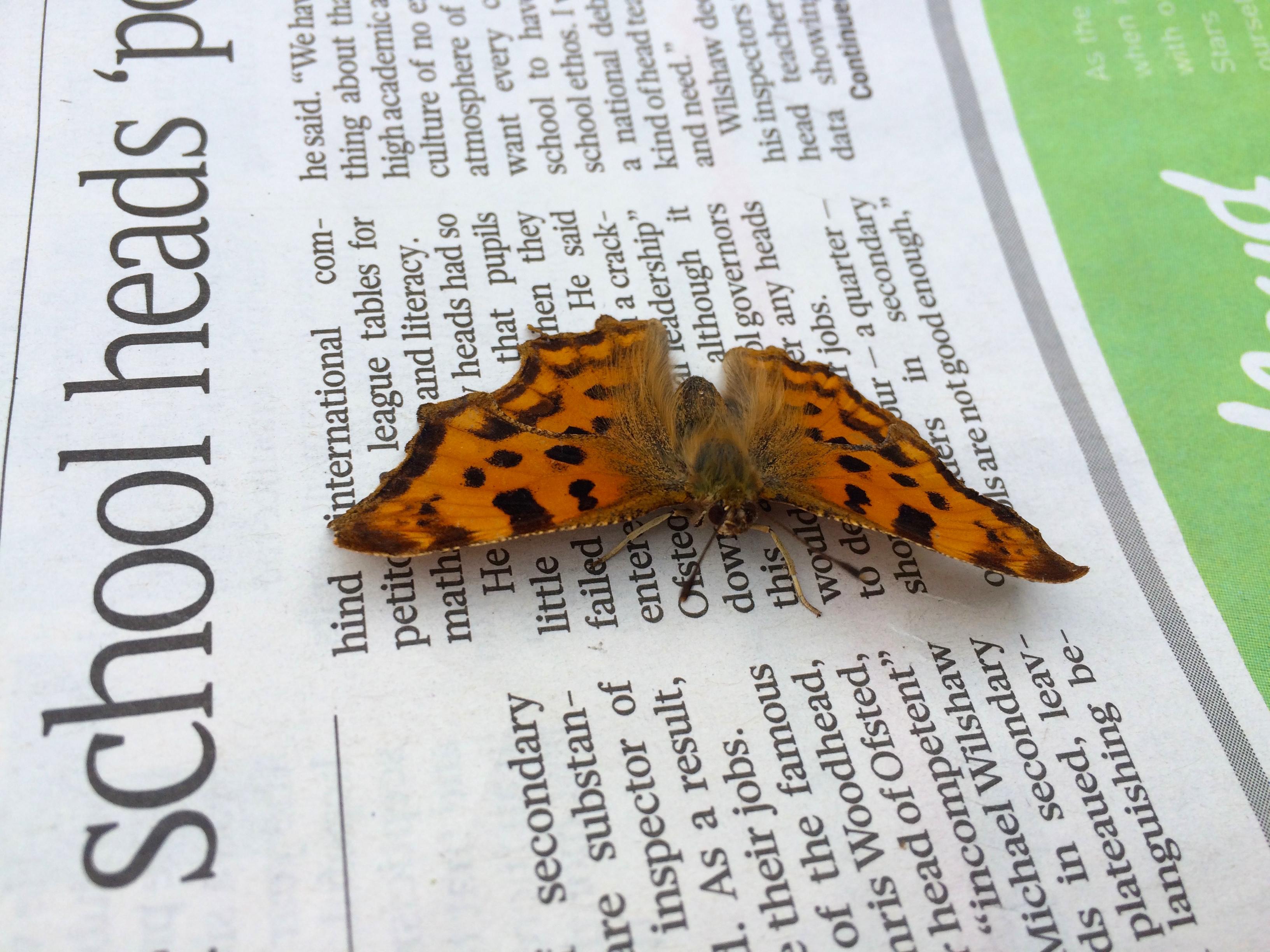 The Sunday Times butterfly Copyright Chris Bushe 2015