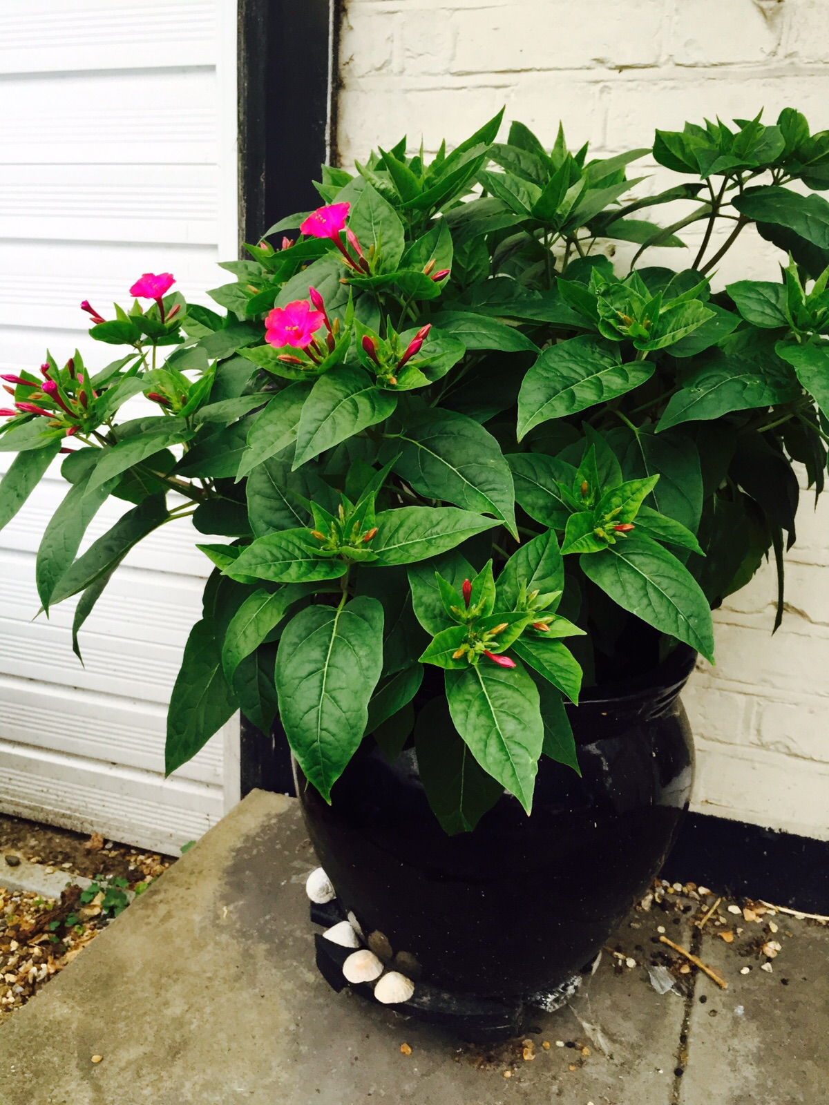 Mirabilis Jalapa with flowers emerging