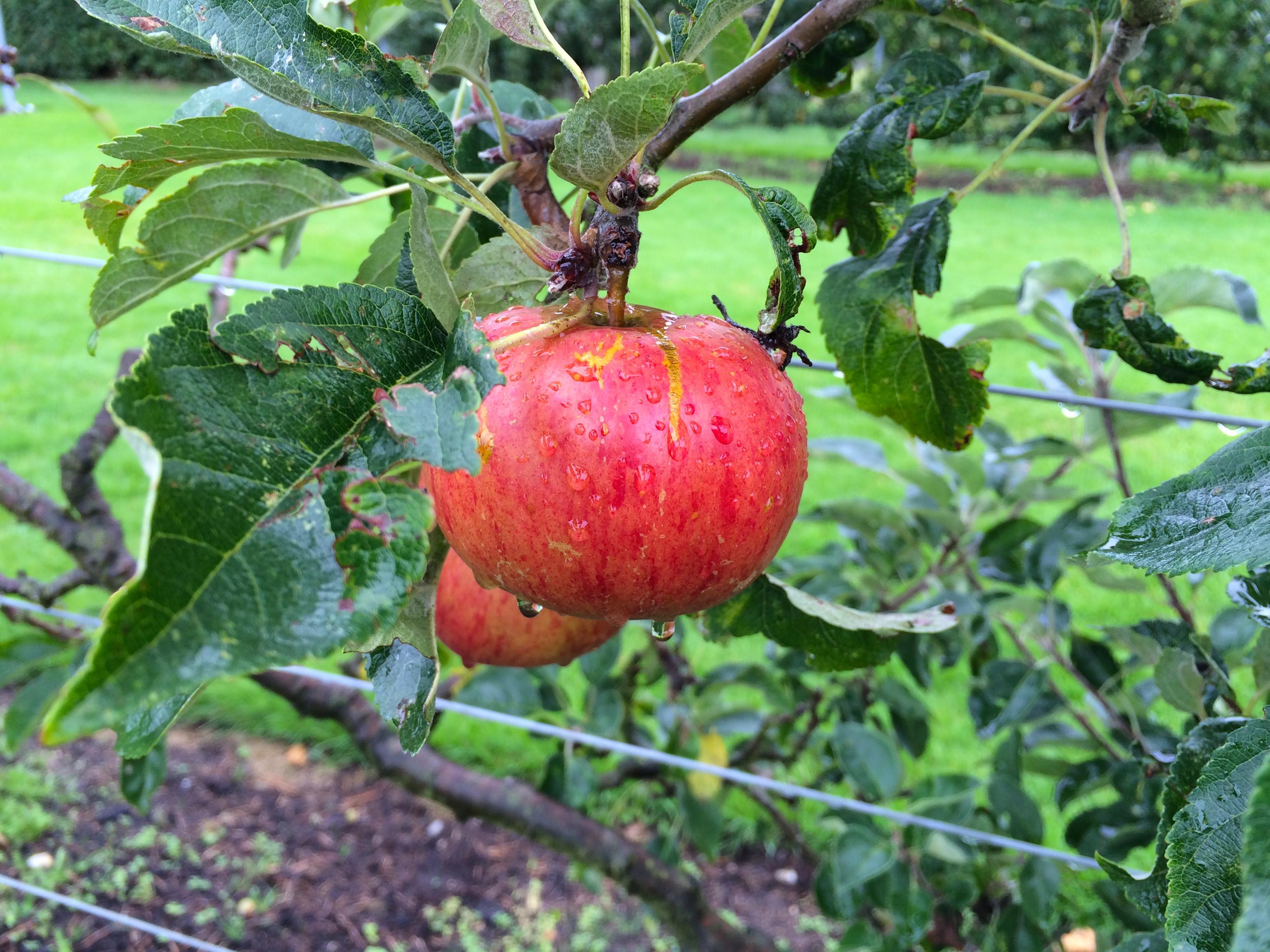 Experimental Fruit Trees Wisley