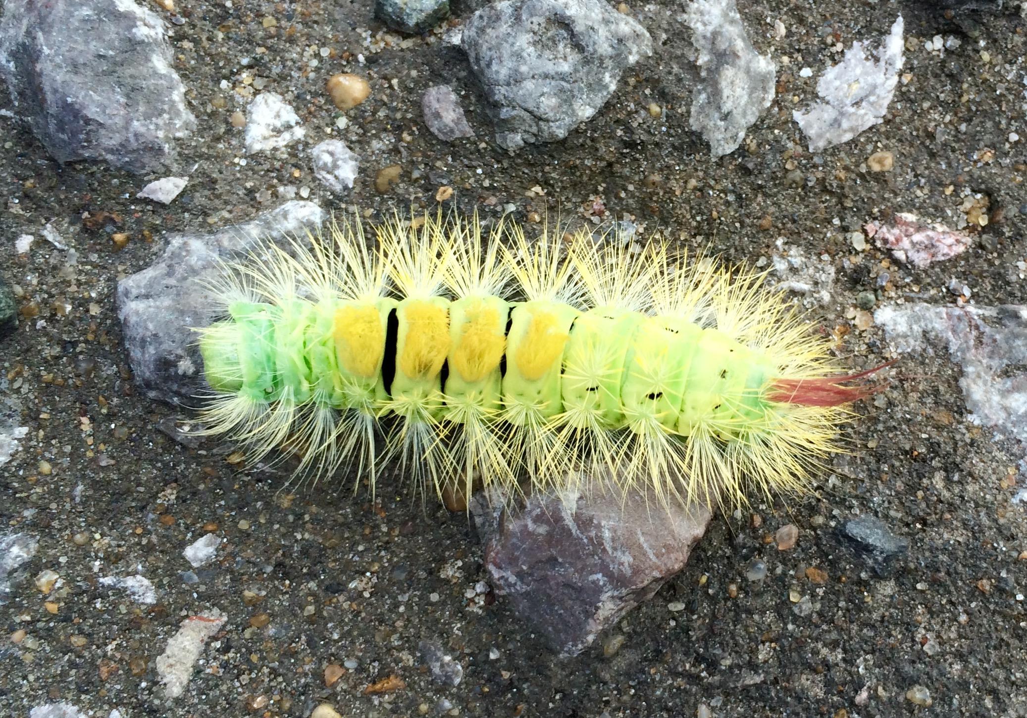 Hersham Caterpillar